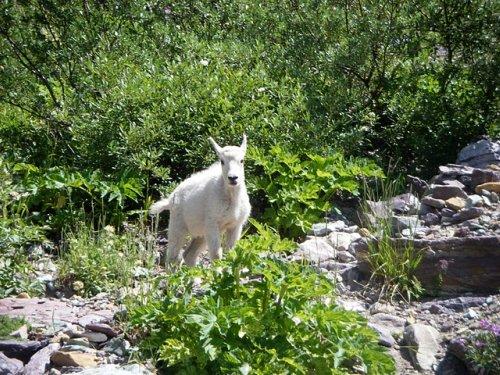 Baby Mountain Goat Pics