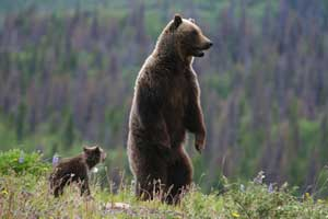 bear cub picture