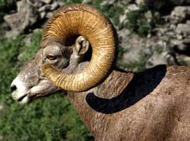 Big Horn Sheep Picture