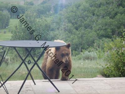 A bear seen in Steamboat Springs from July 9th Commentor