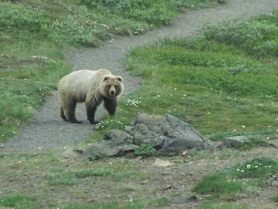 The Griz on Granite Park Chalet Hike