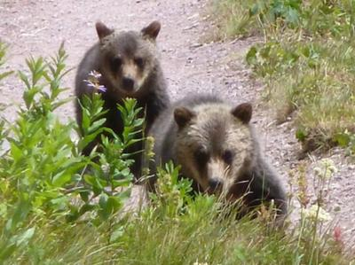 two grizzly cubs approaching us