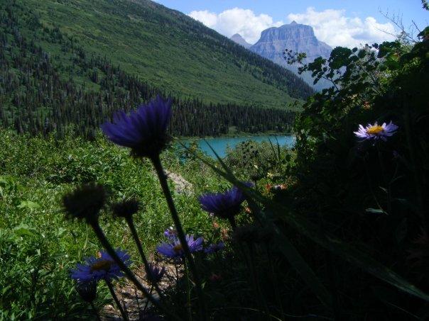 Purple wildflowers on Gunsight Trail