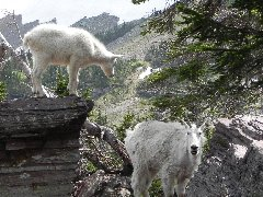 Mountain goat along Hidden Lake Trail
