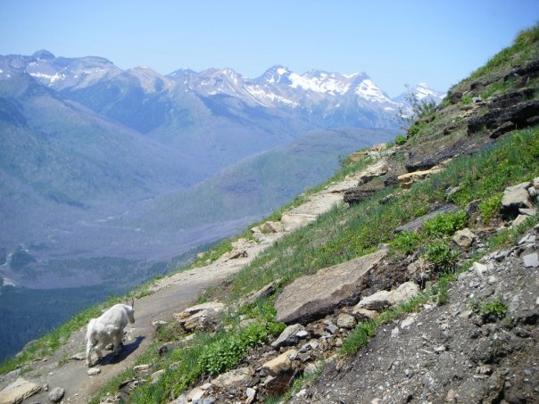 Best Images of Mountain Goats on Highline Trail
