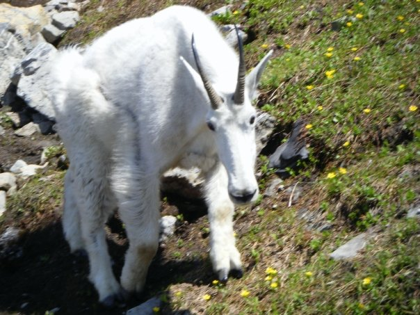 Mountain Goat photos