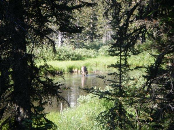 Moose Images - Animals in Glacier National Park