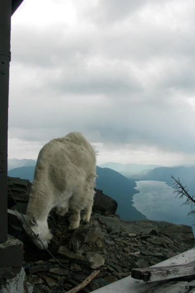 Images of Mountain Goats