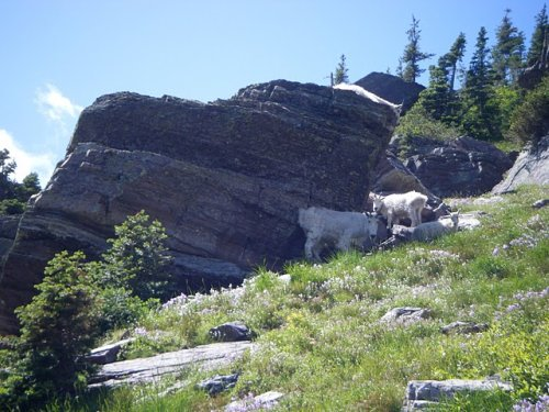 Mountain Goat Pics