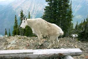 Mountain Goat Images