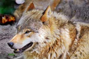 North American Wolves