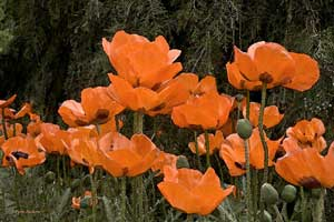 Orange Poppies Wildflower
