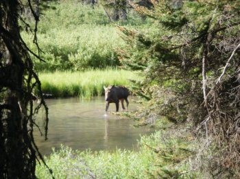 Pictures of a Moose