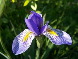 Rocky Mountain Iris Purple Flower
