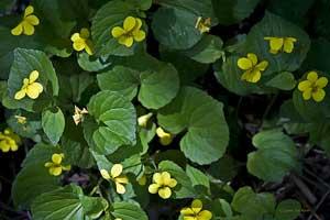 yellow violets wildflower