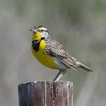 Info on Montana's State Bird: The Western Meadowlark