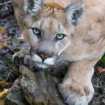 Mountain Lion Behavior