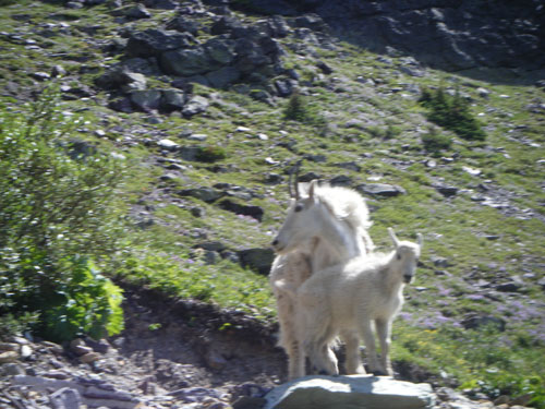 mountain goats staring at us