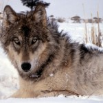 gray wolf staring at you