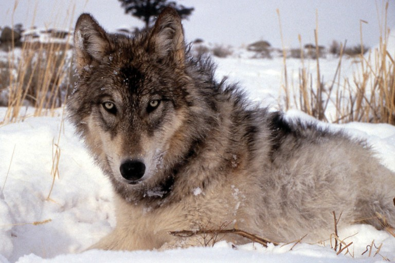 Wolf by NPS