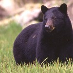 Black Bear Euthanized in Glacier National Park After 2 Weeks of Aggressive Behavior