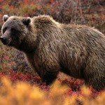 What You Should Never Do If You Encounter a Grizzly Bear