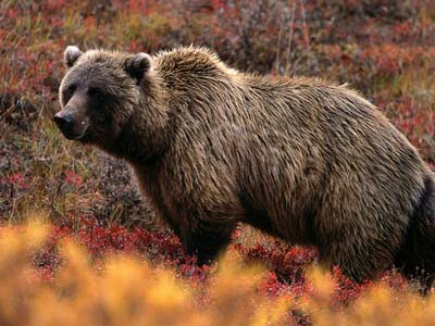 grizzly bear in the fall