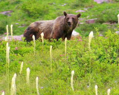 a grizzly bear surrounded by bear grass