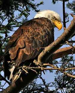 Bald Eagle Montana Picture