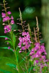 Fireweed Purple Wild Flower