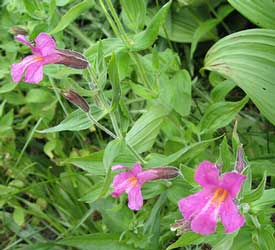 Monkey Flower Pink Wildflower