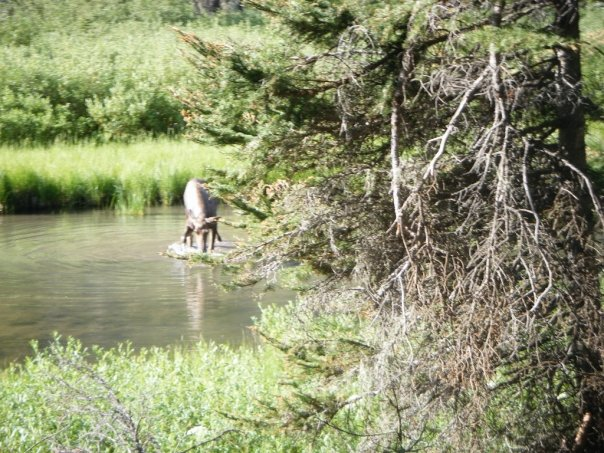 Moose Pictures - Glacier National Park Wildlife