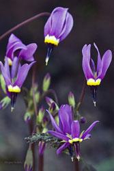 Purple Wild Flowers Star