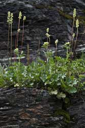 round leaved alumroot