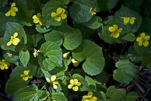 yellow violets wildflower