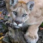 Mountain Lion Montana