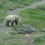 grizzly bear on granite park chalet hike 21661034