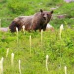 grizzly encounters in glacier national park 21221891