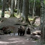 our grizzly bear encounter while hiking avalanche lake in glacier 21529962