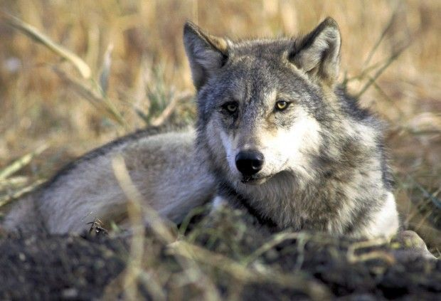 grey wolf in grass