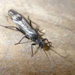 Glacier National Park Insect Faces Extinction